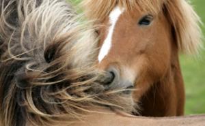 Rid islandshäst för två