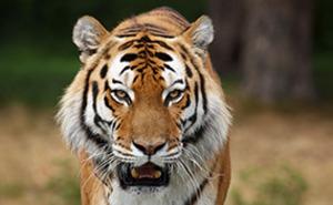 Möte med tigrar