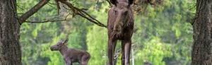 Möt Skogens Konung i Älgparken